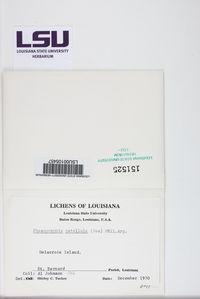 Phaeographis lobata image