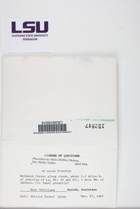 Phaeophyscia ciliata image