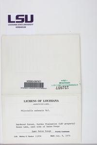 Bacidia hostheleoides image