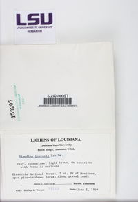 Rinodina moziana image