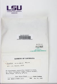 Amandinea milliaria image