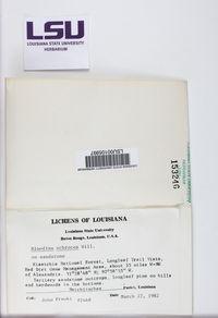 Rinodina cana image
