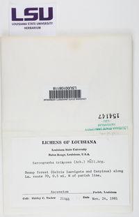 Sarcographa tricosa image