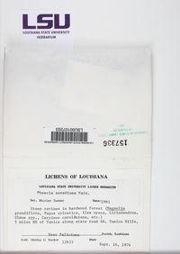 Physcia sorediosa image