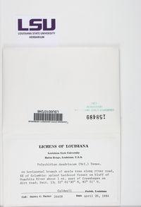 Scytinium teretiusculum image