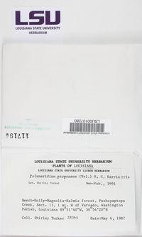 Dictyomeridium proponens image