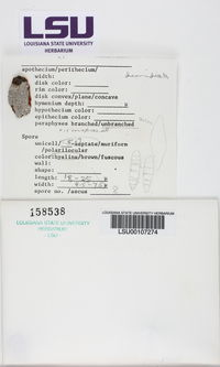 Polymeridium quinqueseptatum image