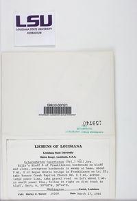 Sclerophyton elegans image