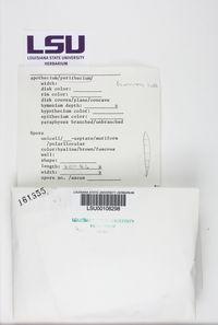 Pseudosagedia cestrensis image