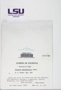 Pyrenula pseudobufonia image