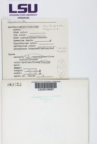 Pyrenula punctella image