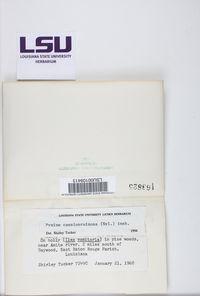 Pyxine caesiopruinosa image