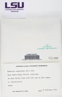 Ramalina complanata image