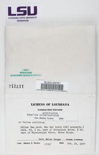 Ramalina culbersoniorum image