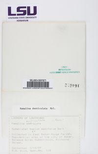 Ramalina denticulata image