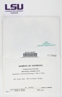 Ramalina ecklonii image