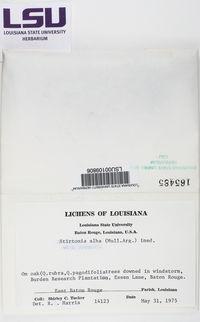 Arthonia quintaria image