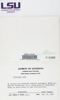 Arthonia albovirescens image