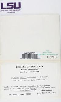 Strigula jamesii image