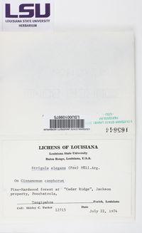 Strigula smaragdula image