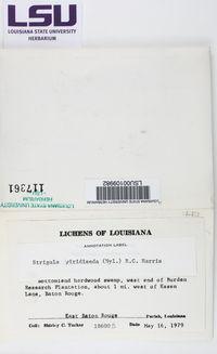 Strigula viridiseda image