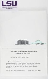 Thelopsis inordinata image