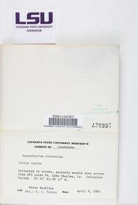 Trypethelium eluteriae image