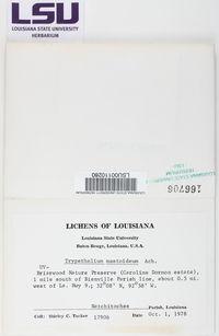 Bathelium carolinianum image