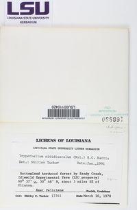 Astrothelium nitidiusculum image