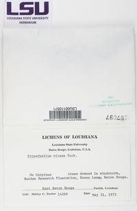 Viridothelium virens image