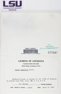 Usnea mutabilis image