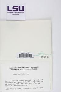 Usnea trichodea image