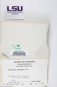 Verrucaria nigrescens image