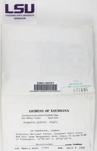 Xanthoparmelia plittii image