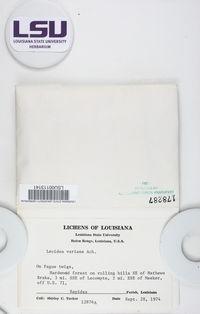 Traponora varians image