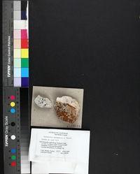 Acarospora veronensis image