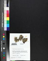 Usnocetraria oakesiana image