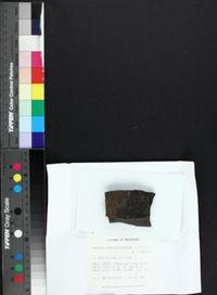 Anisomeridium carinthiacum image