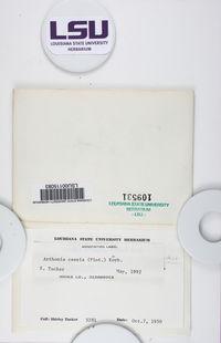 Chrysothrix caesia image
