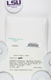 Circinaria rogeri image