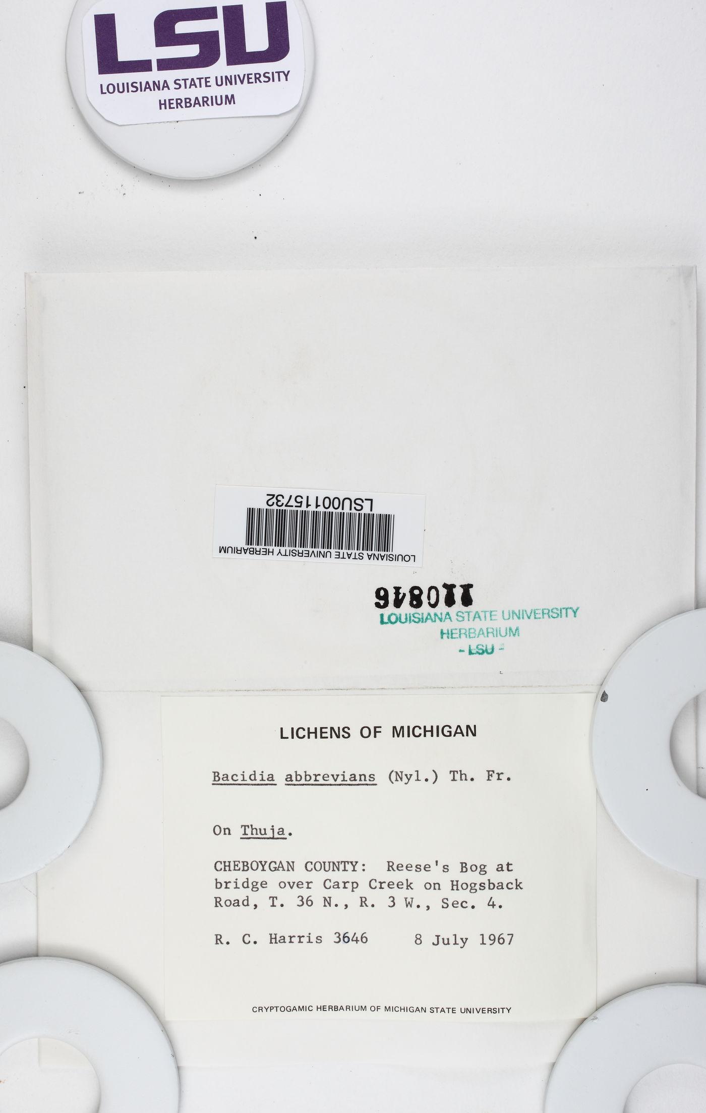 Bacidia igniarii image