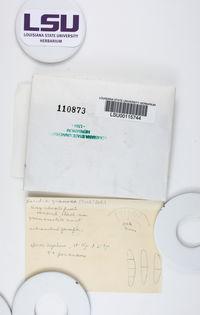 Bacidia granosa image