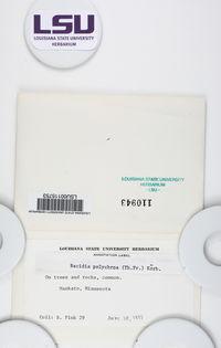 Bacidia polychroa image