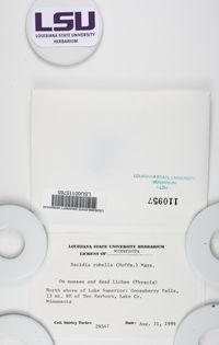 Bacidia rubella image