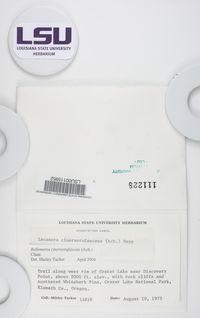 Bellemerea cinereorufescens image