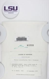 Mycobilimbia epixanthoides image