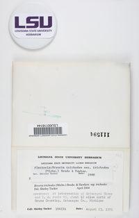 Bryoria trichodes image