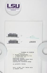 Byssoloma tricholomum image