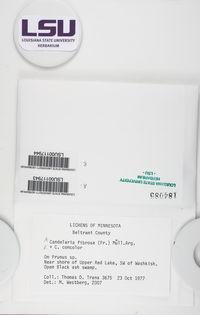 Candelaria fibrosa image