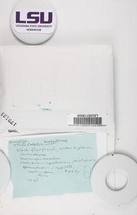 Buellia tesserata image
